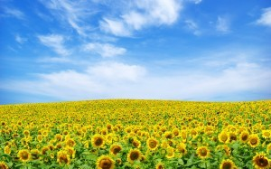 Nitro Samrudhhi Azotobacter Sunflower