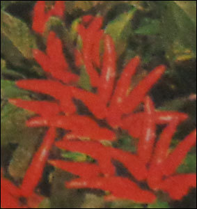 Hybrid Red Chilly Seeds (Surya)