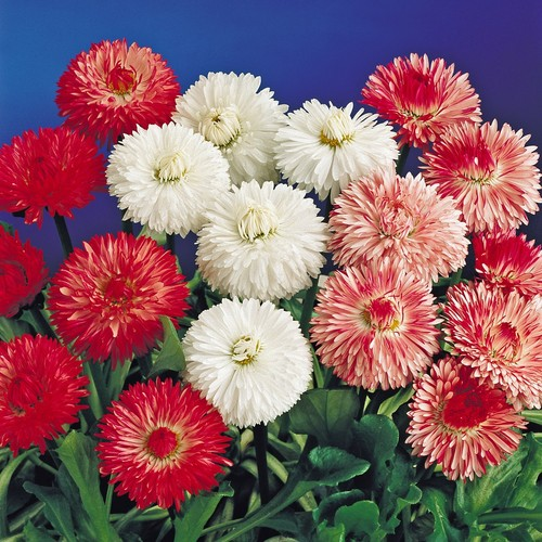 English Daisy Double Mix Flower Seed