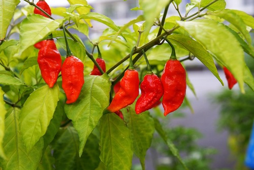 Red Chillies in   Golaghat