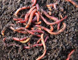 Earthworm Asenia Fatida in  Old High Court (Ashram Road)