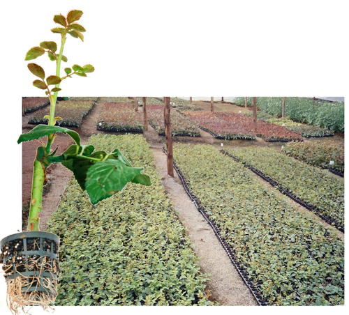 Top Grafted Rose Plants in  Srigandhakavallu