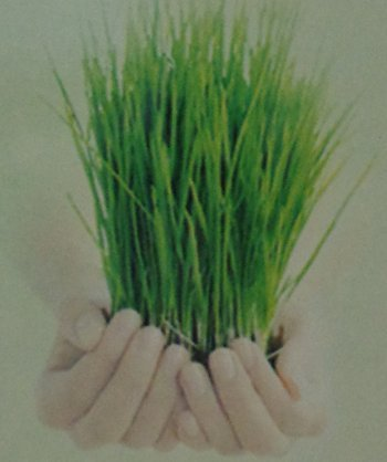 Wheat Grass in  Kopar Khairne