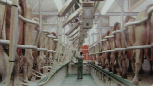 Dairy stanchion barn milking system in mohali punjab