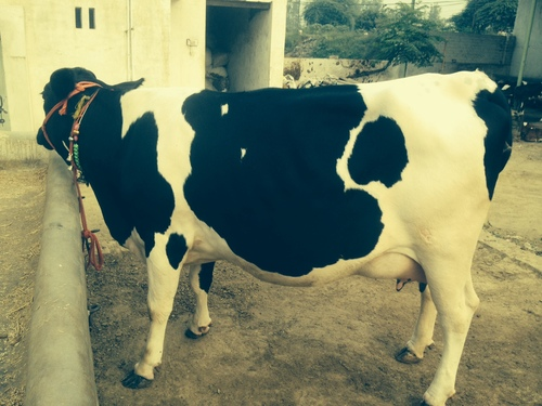 Hf Cow in   Kaithal Road