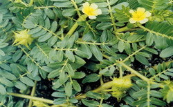 Tribulus Terrestries Extract in  62-Sector