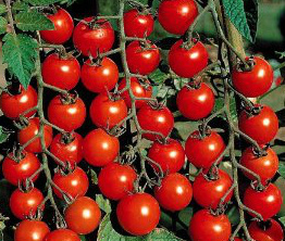 Tomato Hybrid Seeds in  Kompally
