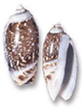 Oliva Gibbosa Medium Shells