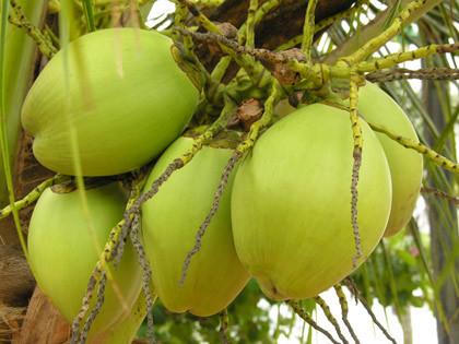 Tender Coconut in  Villivakkam