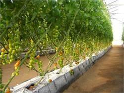 Bananas shade net house structure in nallur tamil nadu for Soil less farming