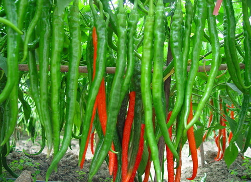 Red and Green Chili Seeds