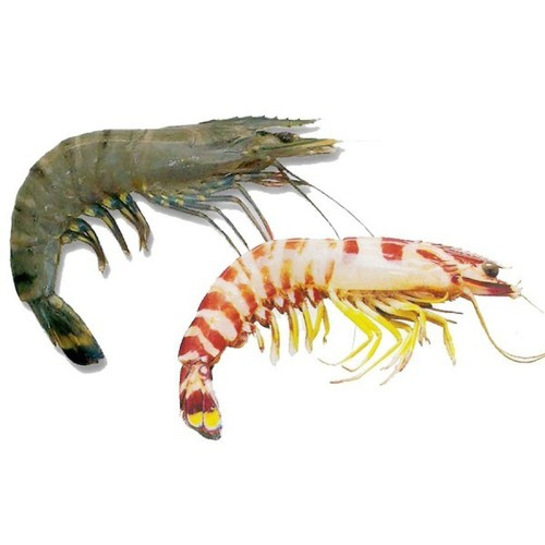 Black Tiger Prawn - Manufacturers, Suppliers & Exporters