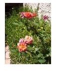 Flowering Plants (Rose - Miniature)