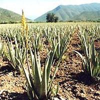 Aloe Vera Plants in  Hadapsar