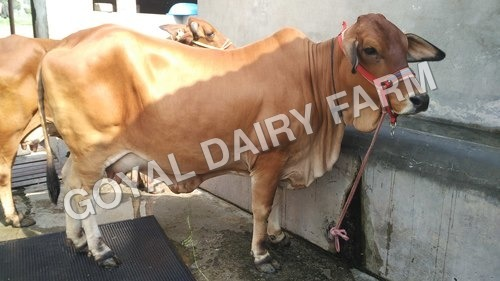 Premium Breed Sahiwal Cow in   Near Doon Vally College