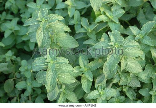 Mentha Arvensis Leaf