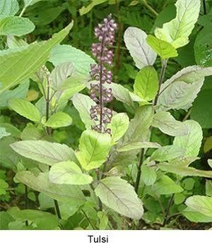 Basil Seeds / Tulsi