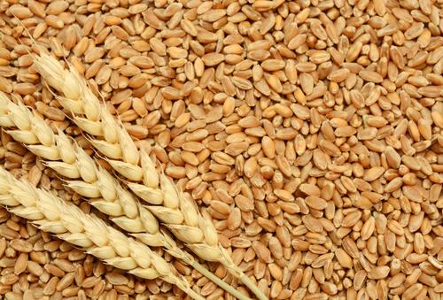Wheat Chokar in   Dist.