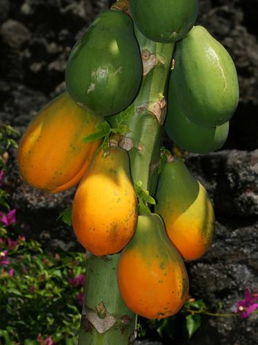 Semi Ripened Papaya