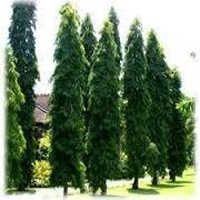 Ashok Tree