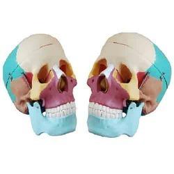 Life Size Colored Skull Model