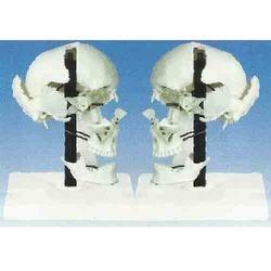 Skull Boes in  Kondwa
