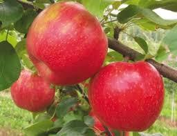 Red Chief Spur Apple in   below old post office Sanjauli
