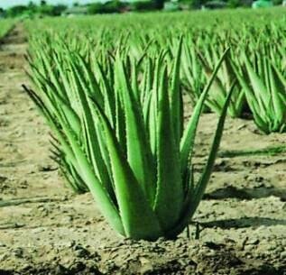 Aloe Vera Plant in   Dist.
