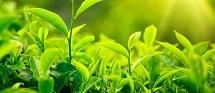 Green Tea Extract in   Bogmalo Beach Road