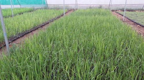 Sugarcane Plants in  Dattawadi