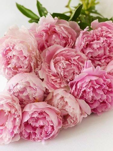 Dusk Pink Roses