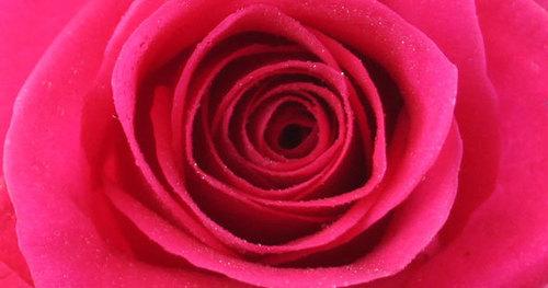 Bugatti Hot Pink Rose