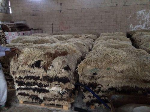 Sheep Hides in   AL JURF