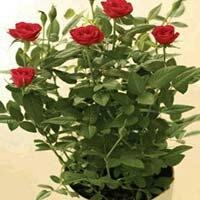 Gladiator Rose Plants