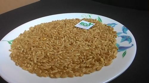 Durum Wheat in  Prahlad Nagar