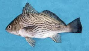 Croaker Fishes in  Ors Vezer Utca 3. 2370 Dabas
