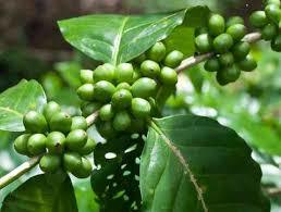 Green Coffee Bean Extract 95% in   Bogmalo Beach Road