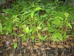 Mahogany Plant in   PO-BADHAPUR