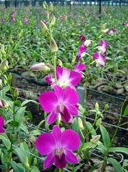 Juri Red Orchid Flower