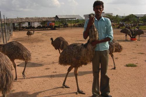 Taking Care Of Emu Birds