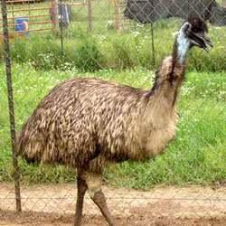 Emu Farm Birds
