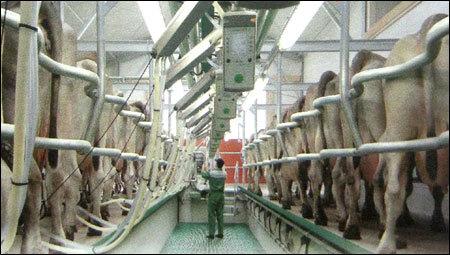 Stanchion Barn Milking System In Gurgaon Haryana Gea