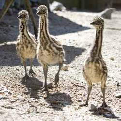 Emu Chicks
