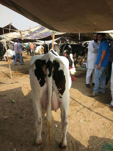 Hf Cows in   Jundla Gate