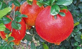 Contract Farming Pomegranate in  Srinagar Extension