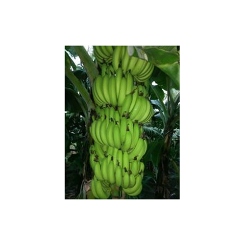Fresh Banana in  Pune-Solapur Road