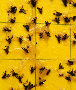Yellow Fly Trap in  Okhla - I