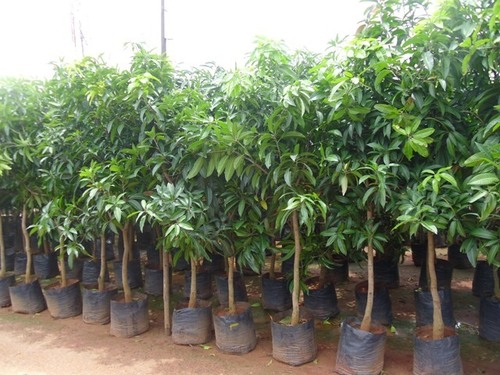 Fruit Plants