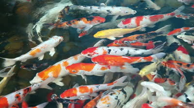 Koi Carp Fish In Thanjavur Kumbakonam Exporter And
