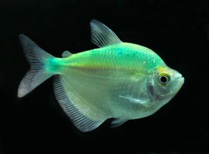 Freshwater tropical fish tetras in khan na yao bangkok for Freshwater exotic fish